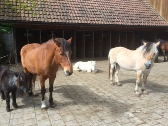 Livio in der Herde (Foto Schönmann)